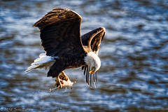Checking his Catch (Todd Ryburn) Tags: nature canon wildlife iowa mississippiriver 2012 bif baldeagles canon1dmarkiv canon800mmf56