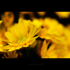 Yellow Day (Swasti Verma) Tags: flowers india flower nature yellow 50mm nikon 18 hyderabad 2012 hws swasti d7000