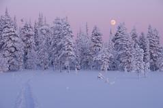La forêt du Grand Nord (Tonton Dave) Tags: pink winter snow rose forest lune finland landscape hiver lappland neige paysage forêt laponie akäskero