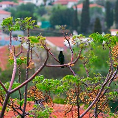 Singer (giev) Tags: plants plant color green bird nature colors leaves garden greek leaf spring dof pentax bokeh gimp mani birdsong greece linux tele 135 blackbird 135mm manh maleblackbird stoupa bibble singingbird k20d pentaxk20d  singingblackbird bibble5 blackbirdsong