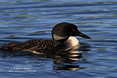 Common Loon (Gavia immer) (Sharon's Bird Photos) Tags: summer lake nature water minnesota wildlife birding commonloon gaviaimmer specanimal