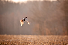 120303_7 (oneshotonepic) Tags: flying pheasant flight vol faisan volant