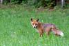Renard_010711_1046-border (Bruno Durieu) Tags: mammifère isère renards