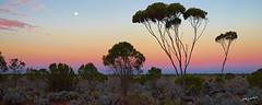 Outback Savannah Sunset (AdamNoosa) Tags: trees sunset red moon colour adam clouds sunrise photography one pano band silhouettes australia panoramic full western wa outback savannah aussie phase plain gormley nullarbor norseman p65
