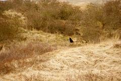 Little black kitty (Vlien*) Tags: cute nature dutch silhouette cat kat dunes kitty duinen poes animalplanet texel littleblackkitty