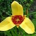 Yellow Tiger-flower