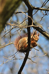 (frettir) Tags: squirrel sweden eating acorn twig ekorre gren bromma ekollon ngby