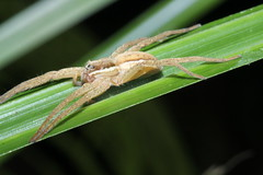 Water spider, Waiherere Domain waterfall (Mary Caughley) Tags: dragonfly nurserywebspider waterspider waihereredomain