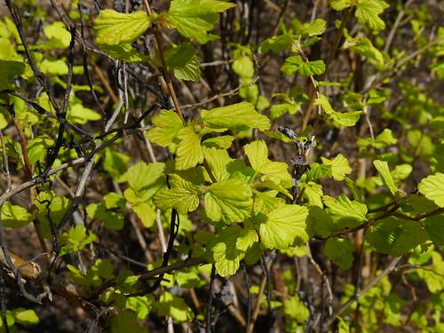 20120413 No ID shrub.