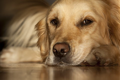 Dog (Oliver.Bineth) Tags: dog beautiful one golden sweet retriever only lovely