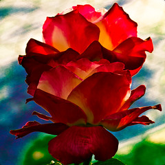 Rose Flamboyant - (explored)  Flickr Explore #441 - Mar 26,2012 (Jack o' Lantern) Tags: red flower macro nature fleur rose closeup canon garden petals flora blossom bokeh rosa bloom fiore my floribunda ra photos blossoms natures fantasy tea petals j flower fantastic master finest winners awesome floral hybrid perfect itsallaboutflowers ackolantern