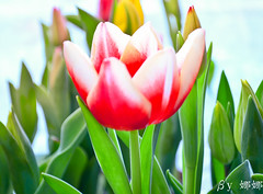 Tulip ( Nana) Tags: flowers plant flower love nature beautiful leaves nikon taiwan tulip lovely   taiwan i  d7000