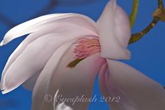 Sensual (Eyesplash - Summer was a blast, for 6 million view) Tags: pink blue white flower macro canon eos bravo heart sensual stamen 7d bloom magnolia pollen 105mm smathe