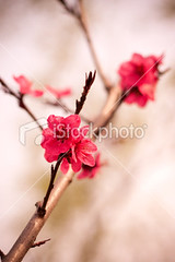 Cherry blossom (imagesstock) Tags: life new red sky plant flower macro tree nature beautiful beauty japan closeup easter spring day branch blossom praying softness pistil petal growth simplicity twig backgrounds cherryblossom sakura bud copyspace idyllic abundance japaneseculture peachtree cherrytree perfection freshness plumblossom defocused selectivefocus flowerhead peachblossom tranquilscene inflorescence   fruitblossom  cultivated cherryflower designelement fragility beautyinnature peachflower pastelcolored orientalcherrytree