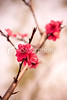 Cherry blossom (imagesstock) Tags: life new red sky plant flower macro tree nature beautiful beauty japan closeup easter spring day branch blossom praying softness pistil petal growth simplicity twig backgrounds cherryblossom sakura bud copyspace idyllic abundance japaneseculture peachtree cherrytree perfection freshness plumblossom defocused selectivefocus flowerhead peachblossom tranquilscene inflorescence 春天 梅花 fruitblossom 樱花 cultivated cherryflower designelement fragility beautyinnature peachflower pastelcolored orientalcherrytree