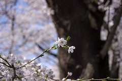 IMGP6881 (Aḥmad) Tags: flower japan spring 桜 日本 sakura kiryu زهرة 春 さくら ساكورا ربيع 桐生 يابان