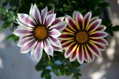 572  - Un couple de gazanias (-Virtuelle-) Tags: plant flower nature fleur plante gazania perfectpetals weloveallflowers