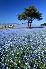 Nemophila ( Spice (^_^)) Tags: japan canon hill      nemophila   canoneos5dmarkii