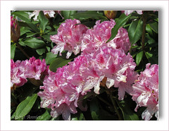 Rhododendron (♥ Annieta  off/on) Tags: plant flower holland primavera nature netherlands fleur canon spring ngc nederland natuur powershot april fiore lente printemps allrightsreserved bloem krimpenerwaard 2013 annieta macromarvels coth5 usingthisphotowithoutpermissionisillegal sx30is