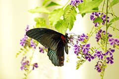 Butterfly-Papilio memnon heronus - (Go For Fun~Jessica) Tags: photographyforrecreationeliteclub celebritiesofphotographyforrecreation vigilantphotographersunite vpu2 vpu3 vpu4 vpu5 vpu6 vpu7 vpu8 vpu9