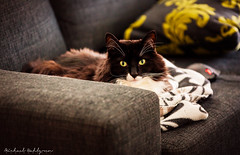 Dexter in his favorite spot (Michael Wahlgren) Tags: 2 pet look animal animals cat canon vintage feline sweden mark guard sigma best iso awsome pillow sofa ii blanket mk2 5d meow hunter dexter 3200 70200 animalplanet f28 varberg naga katt mkii halland razer finegold mjau thegalaxy bestofcats canoneos5dmarkii michaelwahlgren