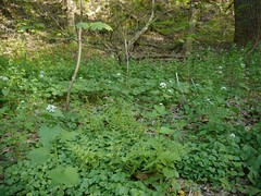 "Invasive Garlic Mustard • <a style=""font-size:0.8em;"" href=""http://www.flickr.com/photos/92887964@N02/8689973013/"" target=""_blank"">View on Flickr</a>"