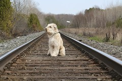05/12 The Littlest Hobo... (milikin) Tags: finnegan softcoatedwheatenterrier scwt 12monthsfordogs13