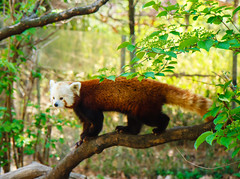 Red Panda (dandimar) Tags: bear park red sea snow animals zoo penguin monkey panda turtle central lion parrot tricks polar parot