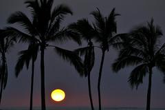 A Bay sunset 2-10-14 (heartinhawaii) Tags: ocean sunset sea palms hawaii pacific silhouettes palmtrees hawaiiansunset bigisland abay anaehoomalubay hawaiisunset kohalacoast hawaiiisland palmsilhouette nikond3100 bigislandinfebruary hawaiiinfebruary