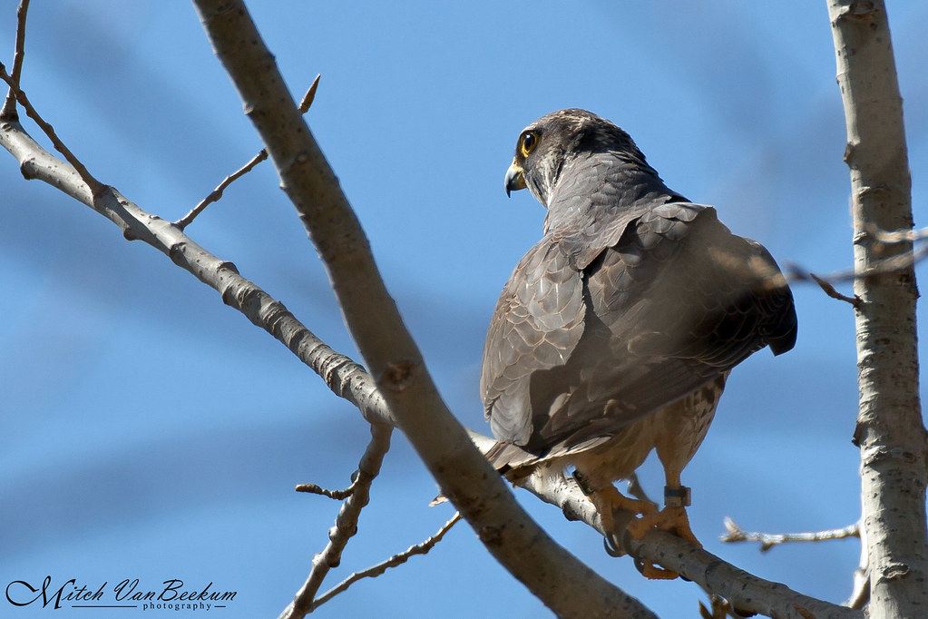 Rear View (Adult Peregrine Falcon)