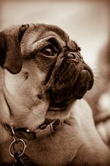 Boo (Mel_Watkins) Tags: pug boo grapevine pugoween