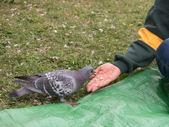 Who will feed a starving pigeon? (kasa51) Tags: park food japan pigeon feed yokohama