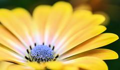 Macro flower! (pat.thom974) Tags: blue flower macro yellow