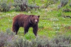 Soaking Wet (Henry T. Cadwalader) Tags: bear nature photography nationalpark nikon wildlife jackson wyoming grizzly jacksonhole wy natureconservancy wildlifephotography jacksonwy