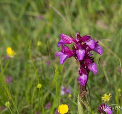 Orchidee de Mai (Rgis B 31) Tags: calmont orchide orchidepapillon orchispapillonacea