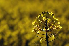 Tone in Tone (Michael Eickelmann) Tags: plants yellow gold golden spring blossom pflanzen rape gelb raps tone ton frhling tonal blten rapeseed