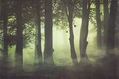 whispy forest mists (Dyrk.Wyst) Tags: autumn trees light mist bird fall nature leaves weather misty fog composition forest sunrise germany landscape deutschland licht buchenwald haze mood nebel outdoor branches fineart laub herbst natur peaceful atmosphere foliage mystical dreamy conceptual landschaft wald bergischesland shrubs impressionistic stimmung vogel gegenlicht dunkelheit dunst beechtrees laubwald friedlich textur niemand creativephotography mistyforest photoshelter bume atmosphre bsche ste