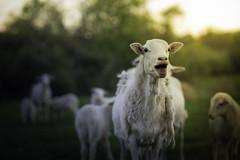 Baa! (Phillip Haumesser Photography) Tags: sunset field animal animals mammal outdoors crazy sheep farm farming animalplanet farmanimals farmlife baabaa crazyanimals