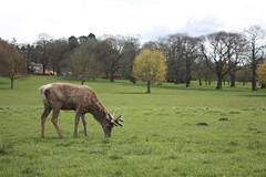 Young Stag (paulbeardmore1) Tags: nottingham nature stag wildlife deer wollaton wollatonhall