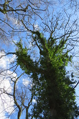 Smother (lady.bracknell) Tags: trees branches ivy parasite barebranches