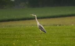 Only one (Yasmine Hens) Tags: bird europa flickr belgium sony ngc oiseau namur hens hron yasmine wallonie iamflickr flickrunitedaward sonyrx10m3 hensyasmine