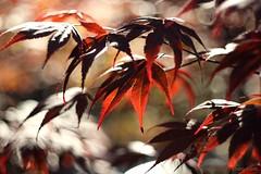 IMG_1247s21FAD (Foto_A_Day) Tags: vintage lens bokeh foliage 55mm exa exakta steinheil f19 bokehlicious quinon