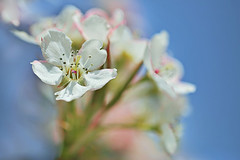 Crabapple Flowers (lfeng1014) Tags: flower macro closeup spring dof bokeh bluesky depthoffield macrophotography lifeng crabappleflowers canon5dmarkiii 100mmf28lmacroisusm
