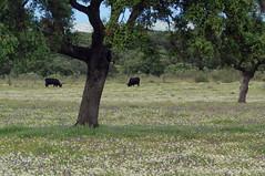Estrémadure (Espagne) (PierreG_09) Tags: faune estrémadure espagne extremadura españa spain spanien troupeau élevage agriculture vache taureau toro eu