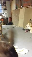 The fun police (video) (abbyef) Tags: video dogs dublin eden pyrrha funpolice behavior dogbehavior