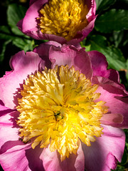 183/ 366 Peony -366 Project 2 - 2016 (dorsetpeach) Tags: flower peony 365 oink 2016 366 aphotoadayforayear 366project second365project
