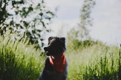 Summer DOG (Alice Veresova) Tags: miniaussie random randy animals mydog