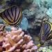 Meyer%27s+Butterflyfish