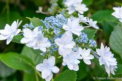 Hydrangea (takashi_matsumura) Tags: hydrangea nezu taitoku tokyo japan flora sigma 1750mm f28 ex dc os hsm nikon d5300