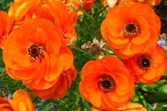 orange ranunculus (lisafree54) Tags: orange plant flower nature free ranunculus cco freephotos